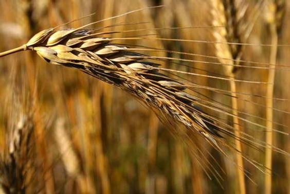 Buğday'da Çin alarmı