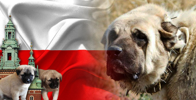 Polonya kangal köpek yavrusu satın almak istiyor