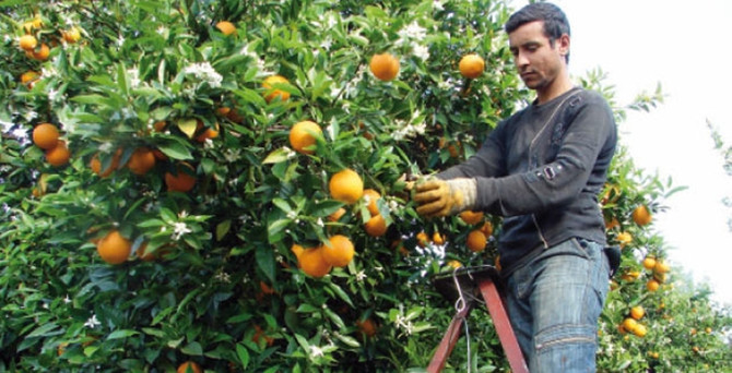 Rusya'ya portakal ve mandalin ihracatı arttı