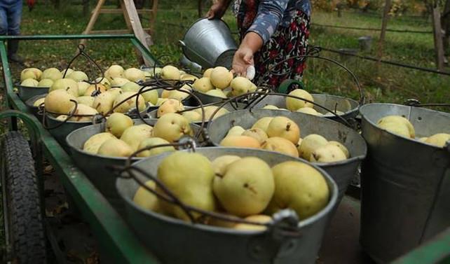 Bursa'dan Hollanda'ya armut ve ayva ihracatı