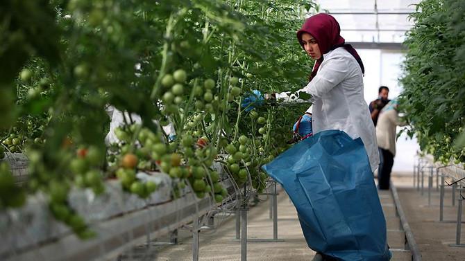 25 günde domates yetiştirdiler