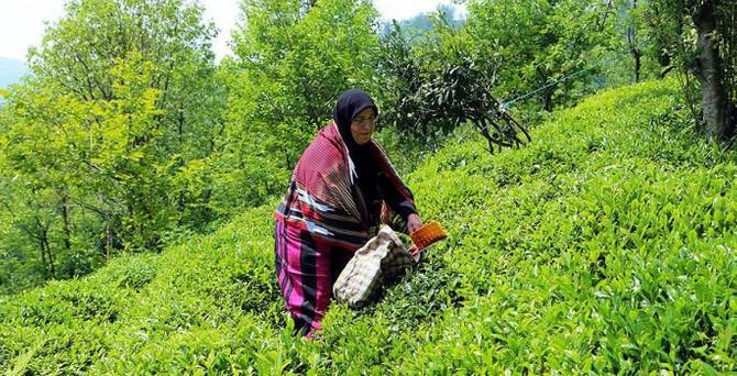 Yaş çay üreticilerine destek geliyor