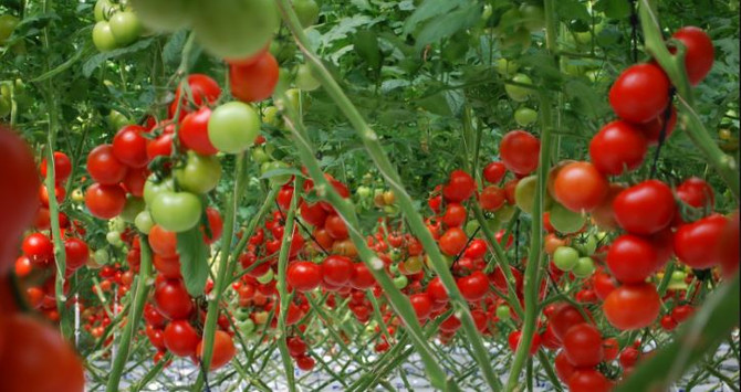Tarımsal üretim hızla seraya kayıyor