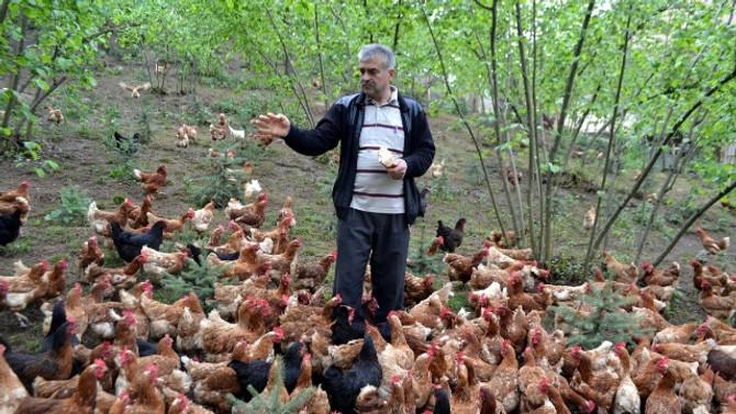 Fındık üreticilerinde organik yumurta sevinci