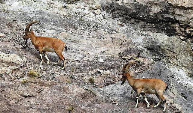 Muğla'da kaçak dağ keçisi avına 48 bin lira ceza