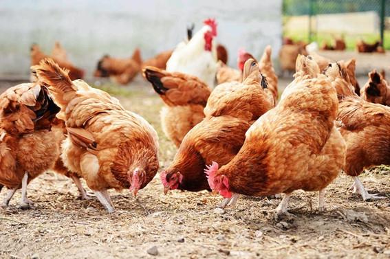 Yumurta ve kanatlı etinde ihracat geriledi