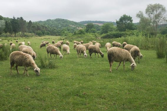 Koyun sayısı 30 milyon azaldı