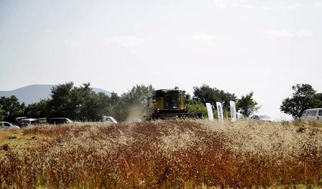 25 kadın çiftçi karabuğdayla ektiğini biçti