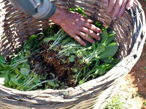 Organik tütün üretimine düzenleme