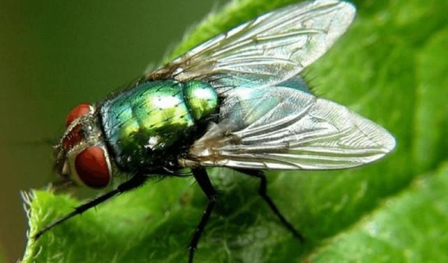 Yaraların tedavisinde sinek larvası kullanılacak