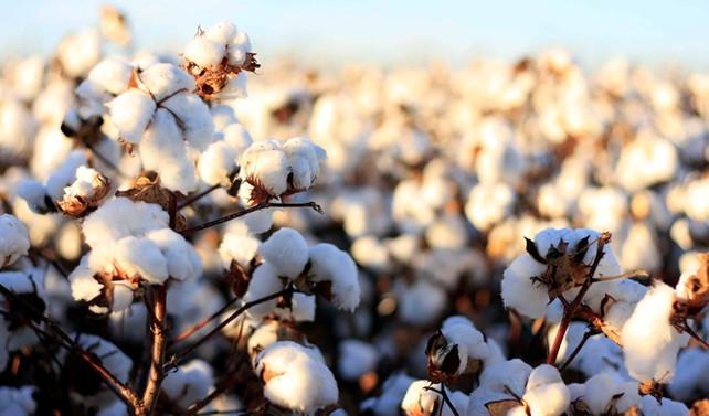 Better Cotton üretimi yüzde bin arttı