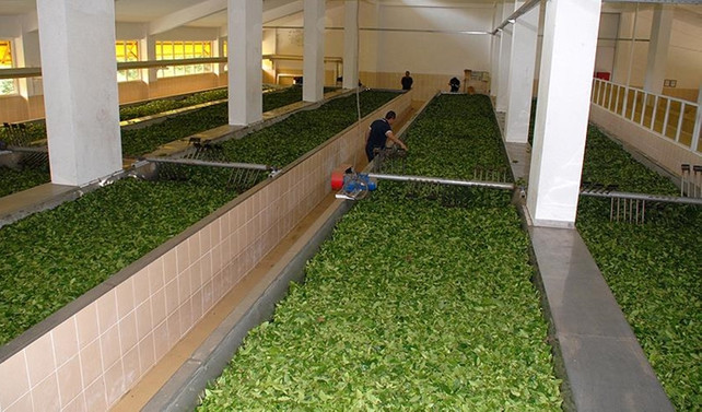Çaykur'a 1500 geçici işçi alınacak