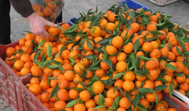 Rusya'ya en çok mandalina ihraç edildi