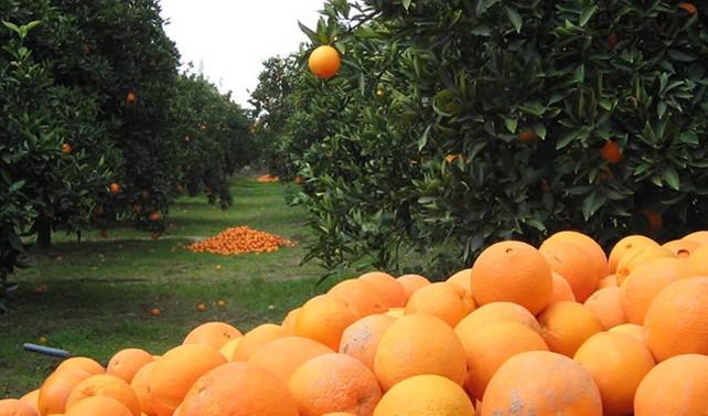 Domatese serbest giriş beklerken portakala vergi haberi geldi