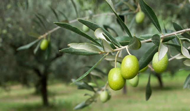 Zeytinlikler için 'Koruma Kurulu' kurulacak
