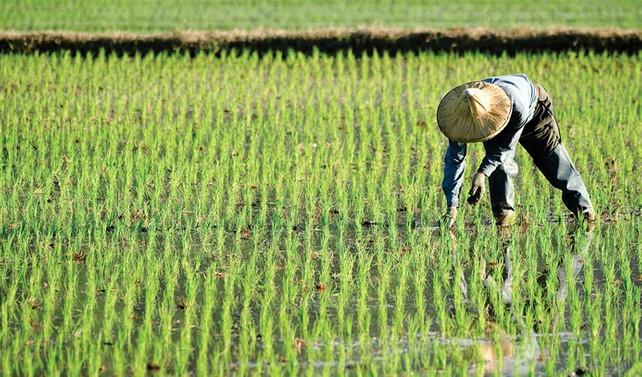 Pirinç 10 bin yıl önce ehlileştirilmiş