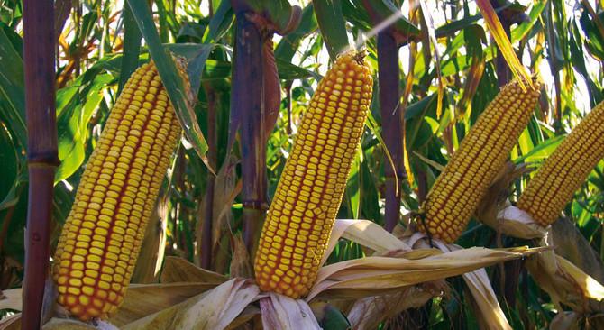 Çukurova'da mısır rekoltesinde artış bekleniyor