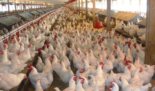 Tavuk eti üretimi düştü