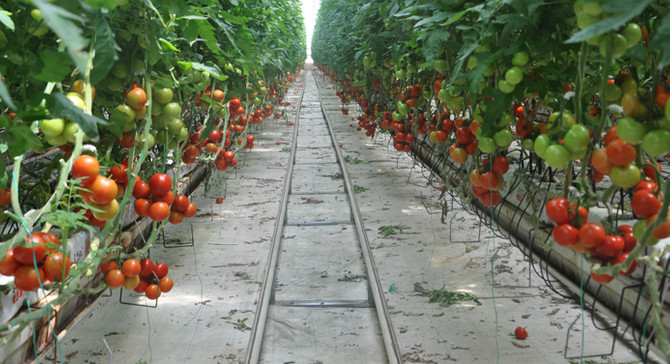 Rusya'dan domates ithalatına 'şartlı' yeşil ışık