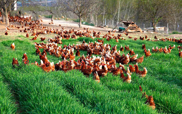 'Rusya'ya tavuk ihracatı iç pazar fiyatlarını etkilemeyecek'