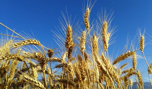 Buğday ihracatında Rusya'nın yeni gözdesi Türkiye