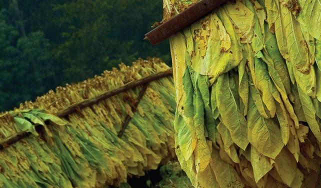 Sözleşme dışı üretilen tütünlerin alım satım esasları belirlendi