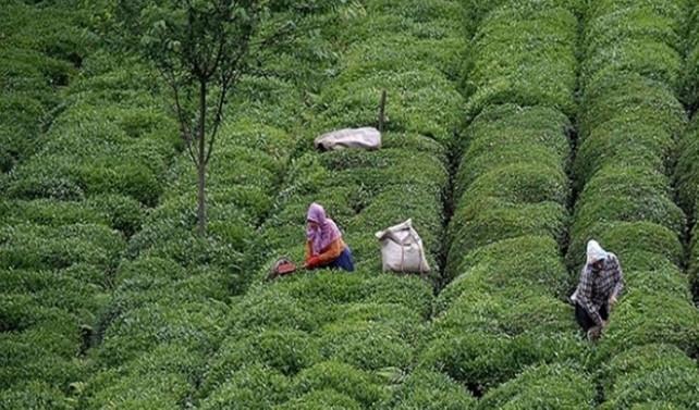 Çay rekoltesinde düşüş bekleniyor