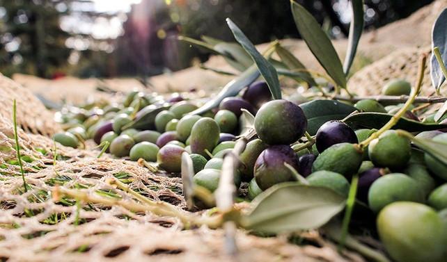 Gemlik, zeytinini Avrupa damak tadına uyarlayacak