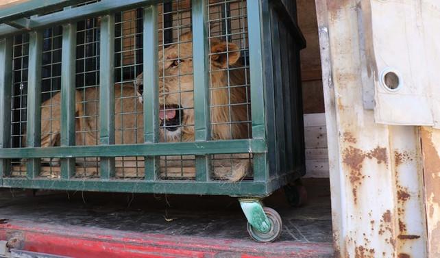 Suriye'deki hayvanat bahçelerinden Türkiye'ye nakil