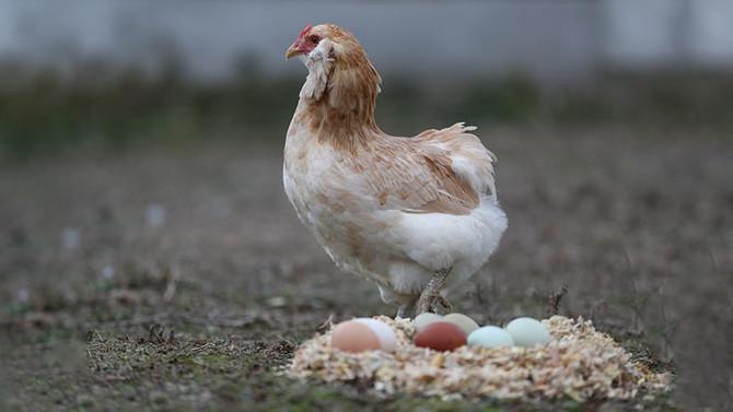 Gezen tavuk aldatmacasına ceza