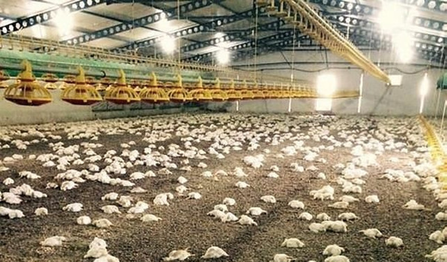 Bilecik'te 28 bin 500 tavuk telef oldu