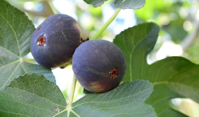 Türk inciri hava kargoyla uçtu