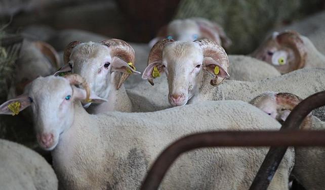 Et verimi için kurbanlıklar stresten korunmalı