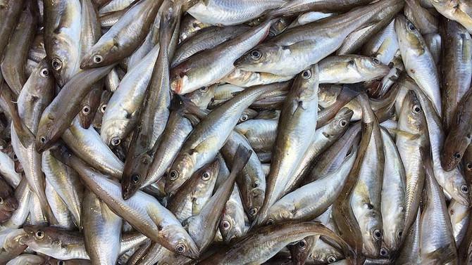 Türk balığı 37 ülkeye 'uçarak' girdi