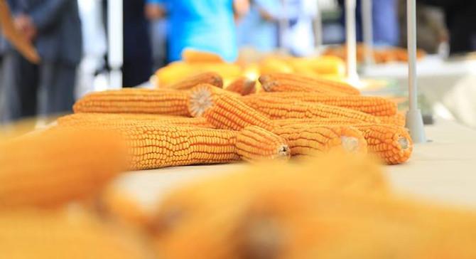 Dane mısırın ekonomiye katkısı 4,73 milyar lira
