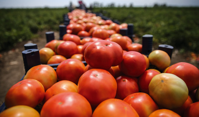 Rusya, domates yasağını kaldırıyor