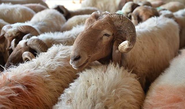 Manisa'da merada otlayan koyunlar telef oldu