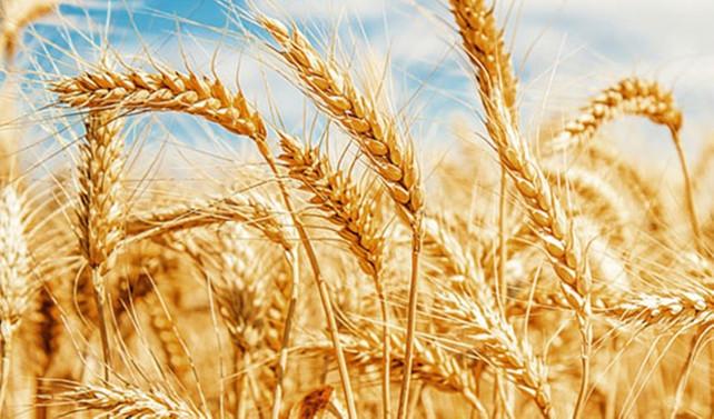 'Buğdayın bile boyu kısaldı!'