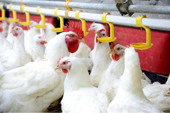 Etçi tavukların korunmasında AB kriteri