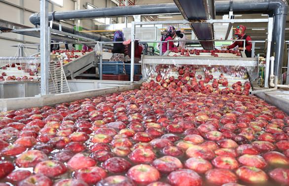 Organik mumlanan elmalara Uzak Doğu'dan talep