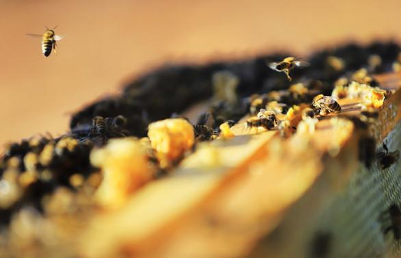 Toplu arı ölümleri hastalıktan değil zirai ilaçlardan