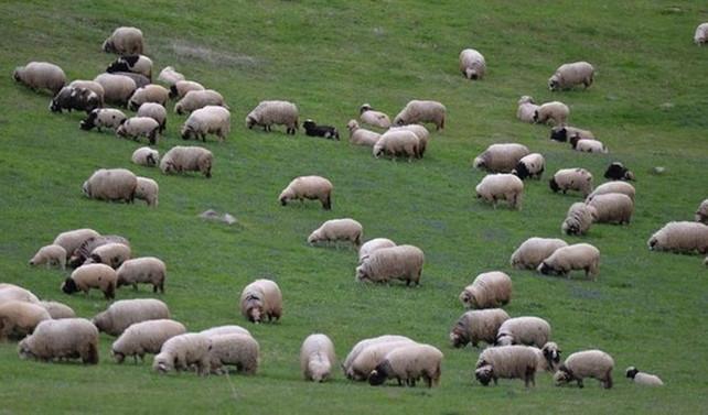 300 koyun projesinin kapsamı genişletilmeli