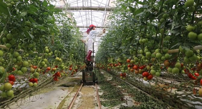 Rusya'nın domates kısıtlamalarına tepki büyüyor