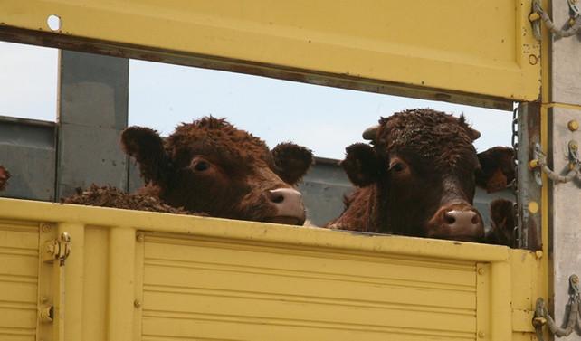 Türkiye, hayvancılıkta ithalatla büyüyecek