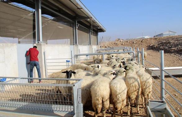 300 koyun projesinde başvurular sona eriyor