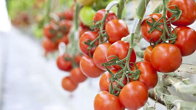 Termal serada üretilen domatesler Avrupa'ya satılıyor