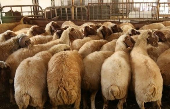 300 koyun projesinde başvurular bugün sona eriyor