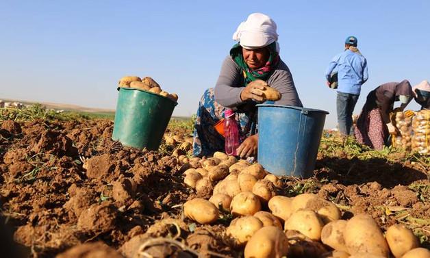 Patatesler depolarda kaldı, üretici umutsuz