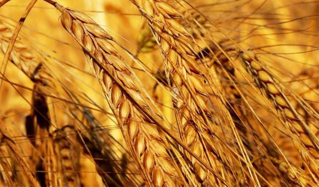Buğday alım fiyatına yüzde 12 zam yapıldı
