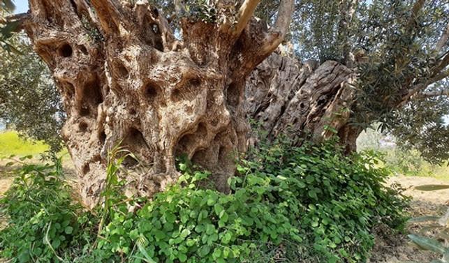 Anıt zeytin ağaçları tescillenecek…